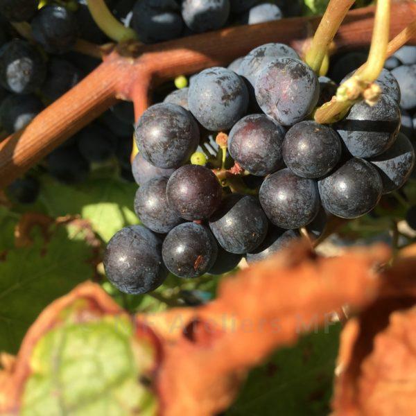 photographie d'art, région bordelaise, nouvelle Aquitaine, vendange, vin de Bordeaux, vignes, médoc